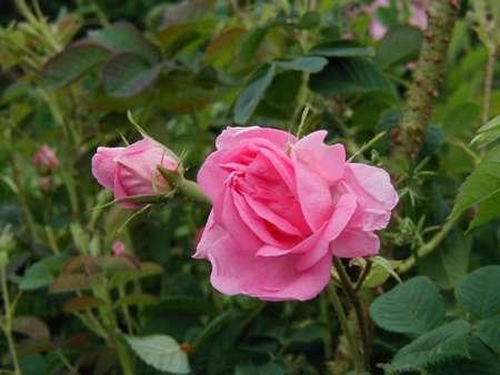 الوردة الدمشقية tr1.gif